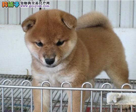 热销多只优秀的沈阳纯种柴犬幼犬送用品送狗粮