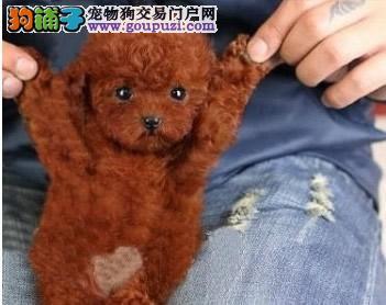 南京什么地方有狗场繁殖茶杯狗的 长不大狗狗多少钱