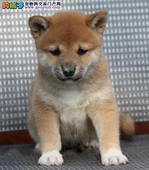荆州实体店低价促销赛级柴犬幼犬签署质保合同