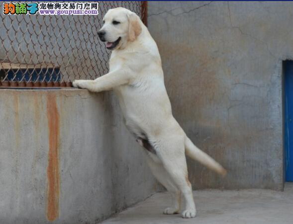 十年老店 重庆人民致:广大爱狗人士买拉多的去处!