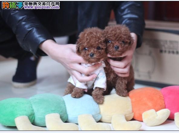 颜色全品相佳的茶杯犬纯种宝宝热卖中专业品质一流