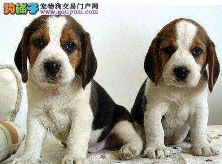 多种颜色的赛级比格犬幼犬寻找主人国际血统认证