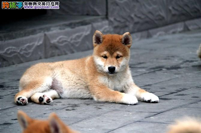 CKU犬舍,日本引进柴犬,百分百健康,保纯种保活
