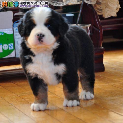 伯恩山犬十分斯文、有礼、举止大方的爱犬