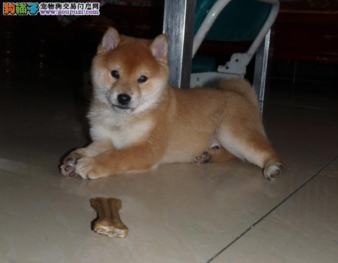 日本小柴犬自然的纯朴风格,小小的身体灵巧好动