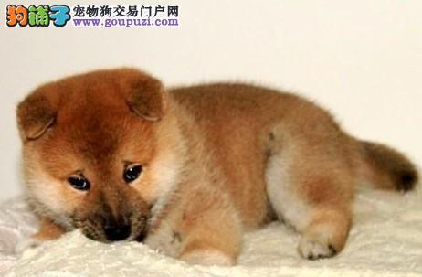 犬舍直销品种纯正健康三亚柴犬签订保障协议