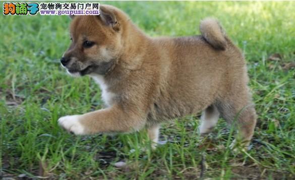 极品纯正的柴犬幼犬热销中送用品送狗粮
