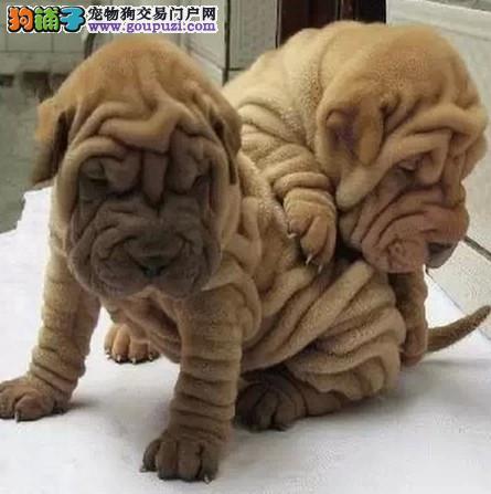 甘南州出售极品沙皮狗幼犬完美品相喜欢它的快来
