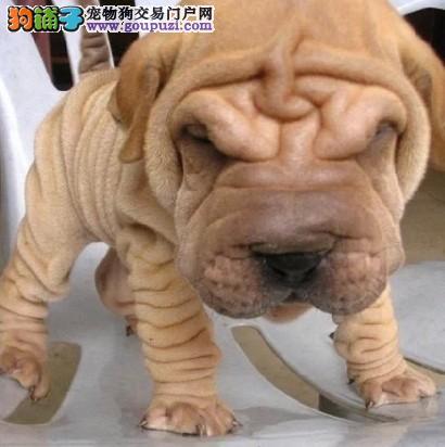 热销沙皮狗幼犬、国际血统品质保障、当天付款包邮