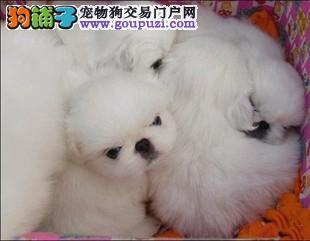 买纯种宫廷京巴幼犬出售 保质保健康 有协议有保障