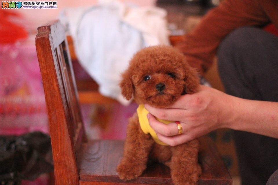 家养活泼可爱超小体茶杯犬 保纯种保健康 签购犬协议