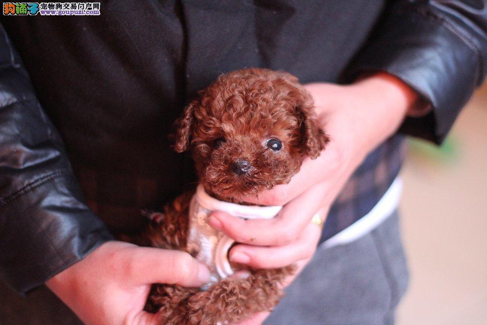 正宗的茶杯狗成年多大南京哪里有专门繁殖茶杯狗的犬舍