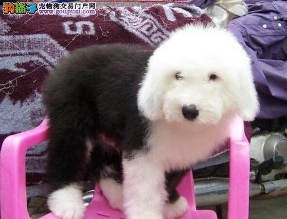 广州哪里有卖古代牧羊犬 广州宠物狗 广州古牧好养吗