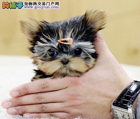 重庆出售纯种约克夏幼犬 保纯保健康
