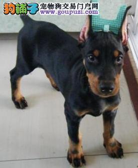 热卖杜宾犬宝宝,纯度第一价位最低,寻找它的主人