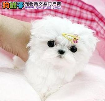 北京冠华名犬纯种马尔济斯幼犬 保纯种 可送货上门