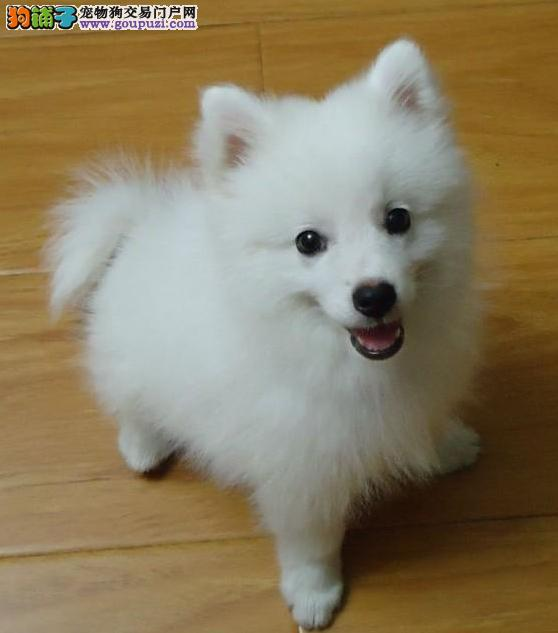 纯种尖嘴银狐犬活泼可爱血统包健康