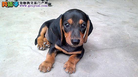 出售极品腊肠犬幼犬完美品相均有三证保障