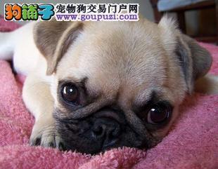 上海自家繁殖巴哥犬出售公母都有喜欢的别错过