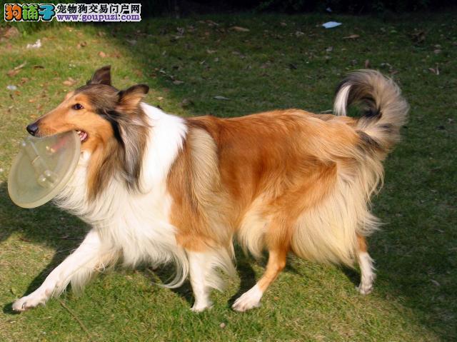 武汉苏格兰牧羊犬价格 武汉边度有卖宠物狗 武汉苏牧
