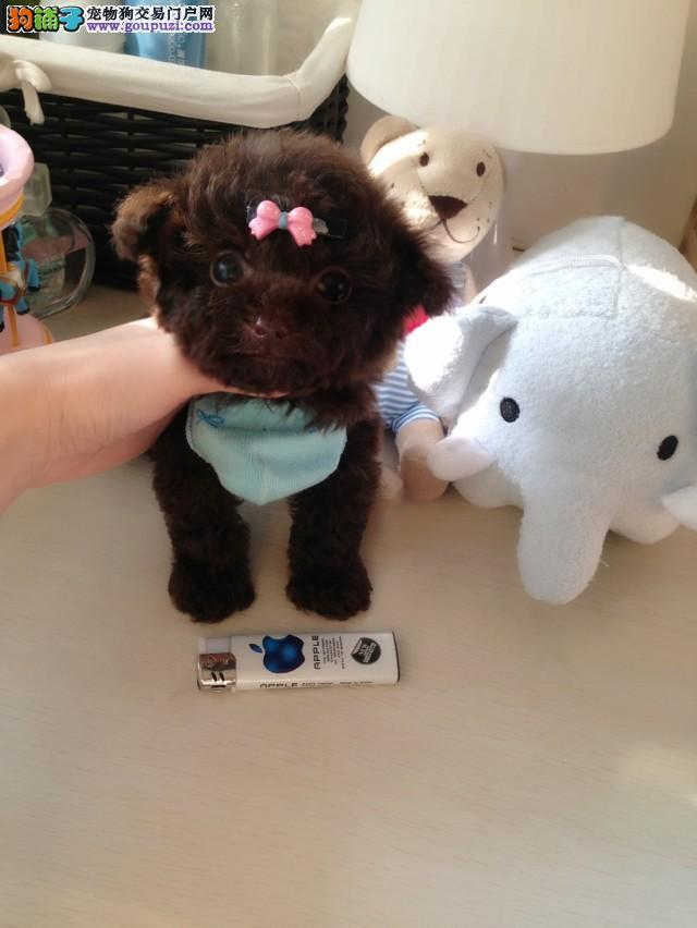 真正纯种韩国茶杯泰迪犬出售 高品质 精品宠物狗