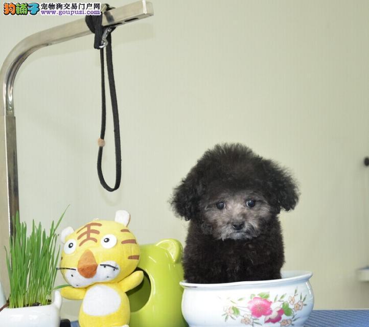 青岛哪里有卖迷你茶杯犬签协议质保