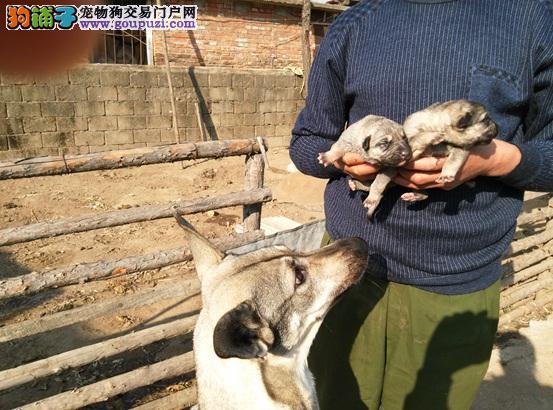 自己家养的纯种狼毛青下的狗宝宝,现在想卖出去