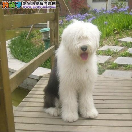英国古代牧羊犬纯种健康的白头通背古牧喜欢就快看