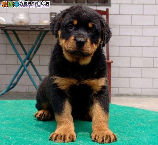 黑神血系 高品质罗威纳有幼犬 证书芯片齐全 签订协议