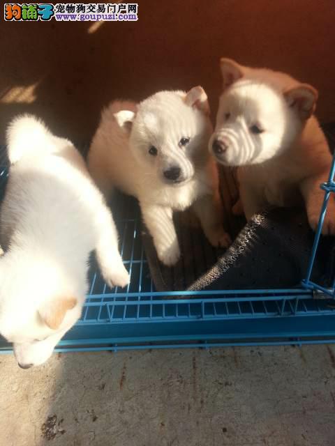 出售高品质秋田犬 品相好 温顺可爱纯种秋田犬