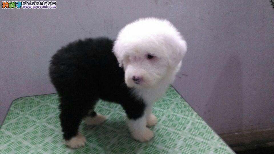 宁波出售幼犬--纯种古代牧羊犬--健康保证欢迎上门选购