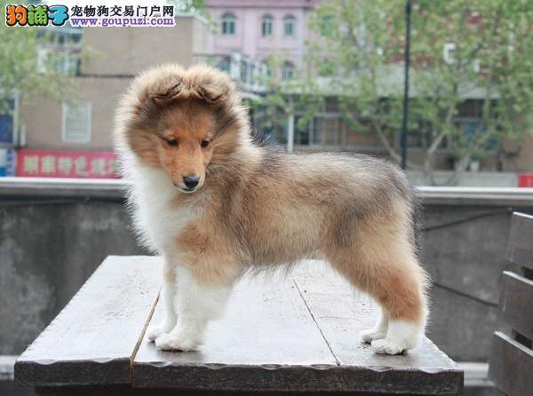 专业繁殖基地纯血统优质苏牧幼犬三针齐签质保可送