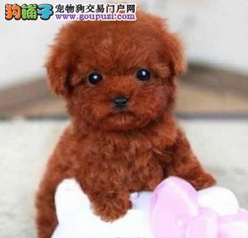 只做南京最好的泰迪犬 进口品质 售后与完美结合