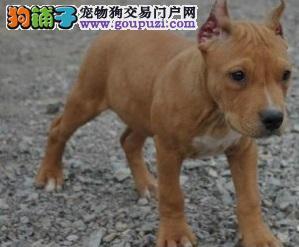 权威机构认证犬舍 专业培育比特犬幼犬同城免费送货上门