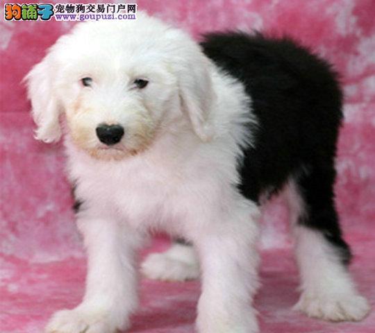 南京古牧多少钱 南京到哪能买到健康小狗古牧