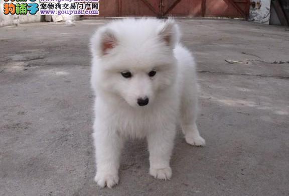沈阳哪里有银狐犬出售 纯种健康的银狐犬哪里有多少钱