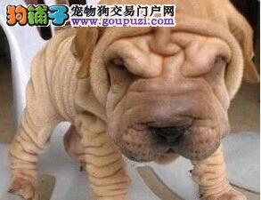 精品纯种郑州沙皮狗出售质量三包可直接视频挑选
