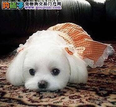 出售漂亮的马尔济斯幼犬 马尔济斯幼犬价格