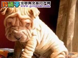 国际注册犬舍 出售极品赛级沙皮狗幼犬保障品质一流专业售后