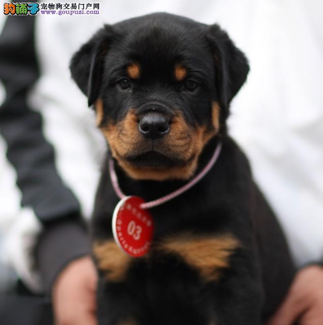 纯种罗威纳防暴犬优质品种信誉第一