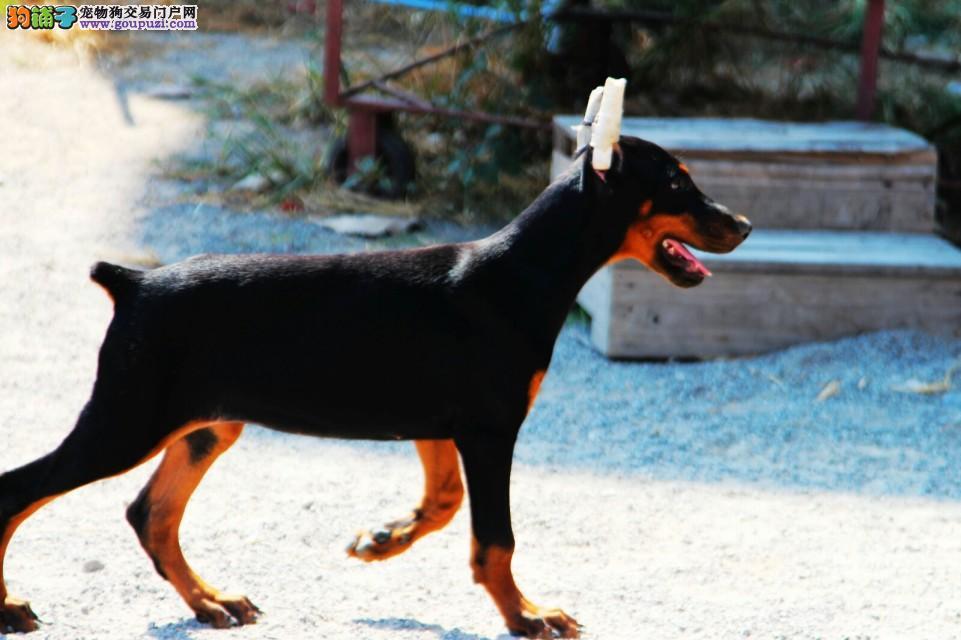 [CKU认证专业繁育基地杜宾幼犬出售