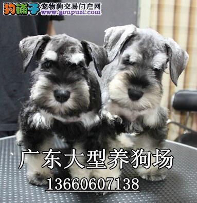 广东大型养狗基地 雪纳瑞