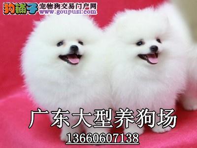 广东大型养狗基地 博美犬广州咩地方有卖博美犬哪里有