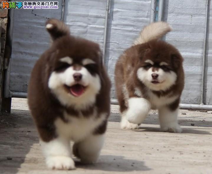 出售高品质赛级直系阿拉斯加幼犬购买签协议保健康