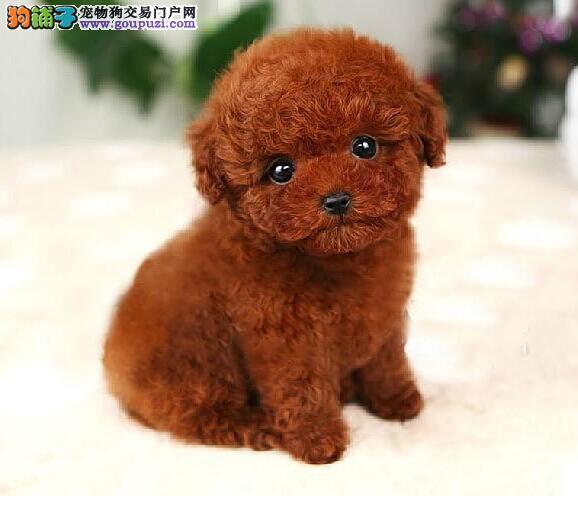 高品质的郑州泰迪犬找爸爸妈妈签订终身纯种健康协议