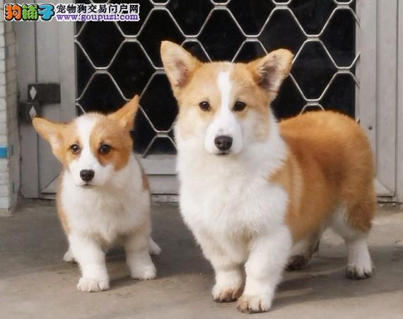 爱家名犬基地专业繁殖柯基犬 专业值得信赖