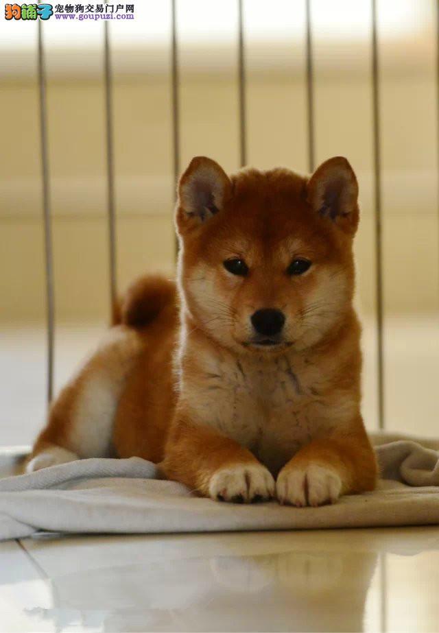 热卖柴犬宝宝 假一赔十品质第一 签协议可送货