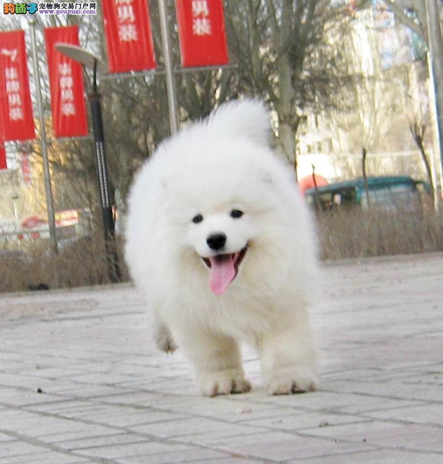 自家狗场繁殖出售顶级银狐犬可多只挑选