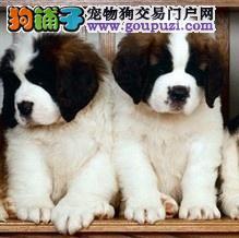 家养出售圣伯纳幼犬保成活健康血统