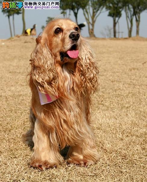 纯种可卡幼犬,活泼可爱,健康纯种